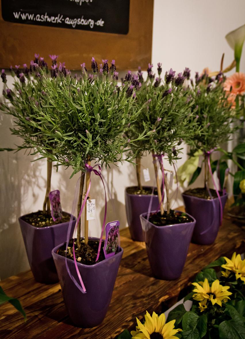 Lavendel_im_Topf